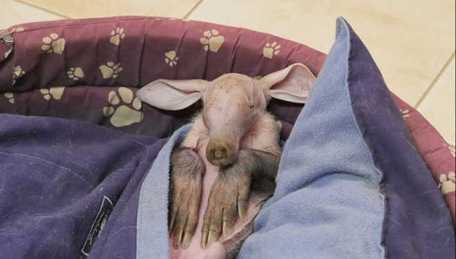Orictéropo bebê resgatada ama dormir em camas de cães