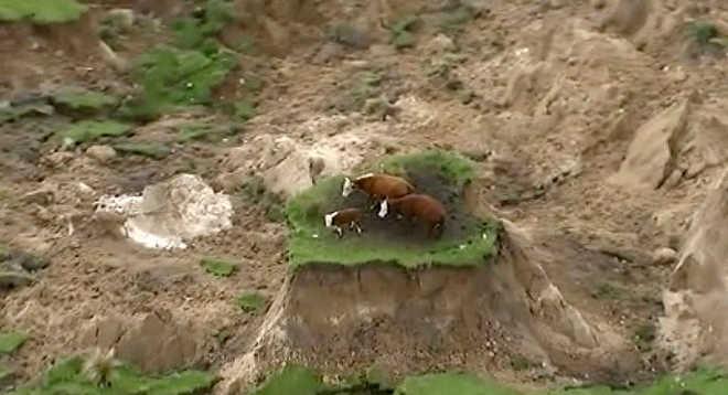 Vacas 'ilhadas' são salvas, mas outras duas aparecem isoladas
