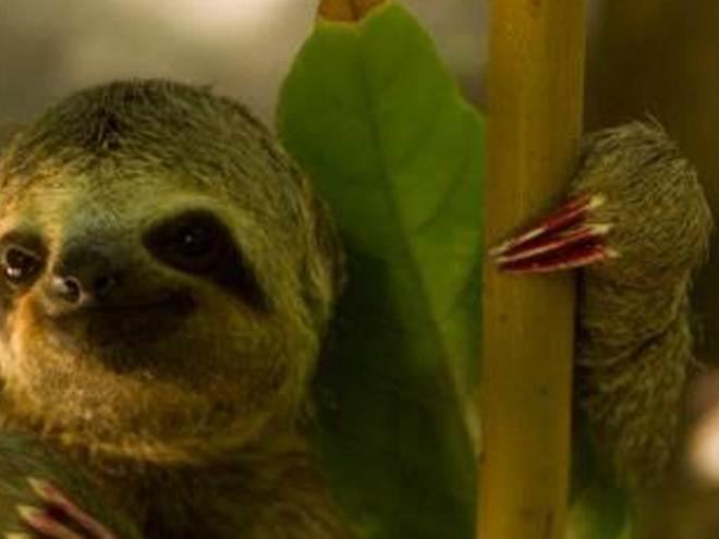 Bicho preguiça é abandonado no Bosque Rodrigues Alves, em Belém, PA