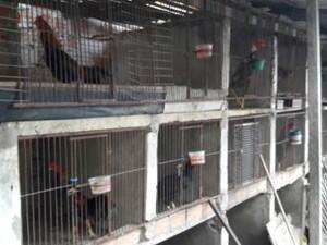 Polícia apreende mais de 20 galos usados em rinhas de briga em Belém, PA
