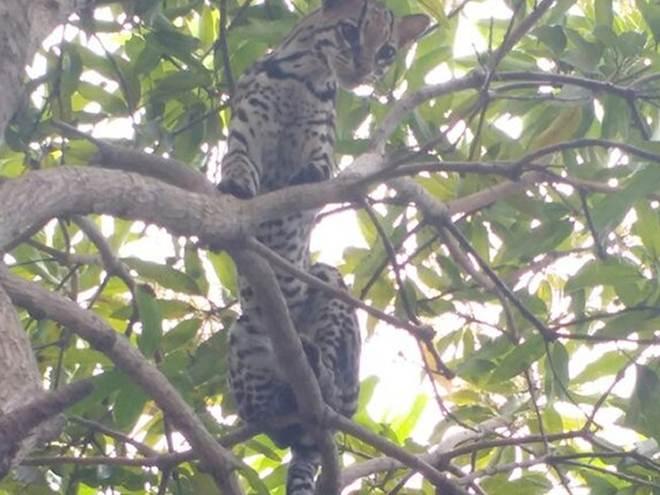 Jaguatirica é encontrada em árvore perto da escola Rio Tapajós, em Santarém, PA