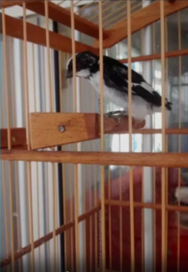 Ibama investiga venda de pássaros silvestres pelas redes sociais no Piauí