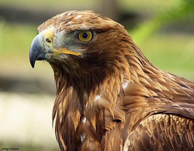 Pela primeira vez em Portugal, um envenenamento de duas águias vai a julgamento