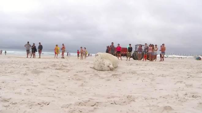 Animal marinho albino é encontrado em praia de Cabo Frio, no RJ
