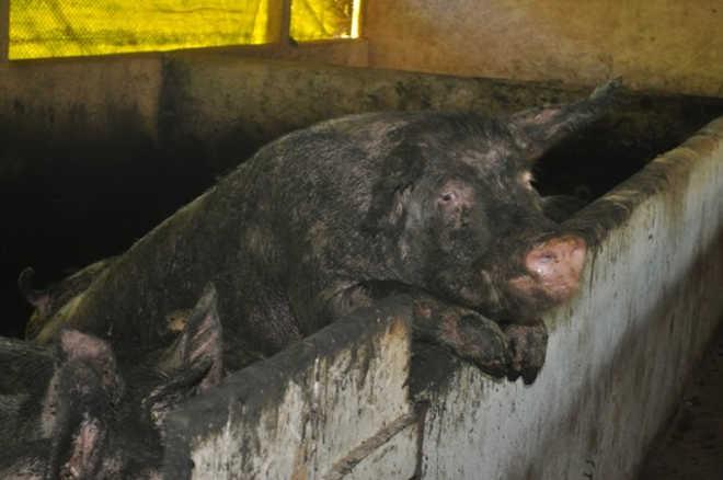 Animais vítimas de maus-tratos são retirados de granja em Tenente Portela, RS