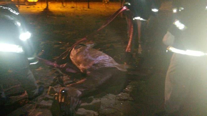 Cavalo castrado clandestinamente é abandonado em Tramandaí, RS