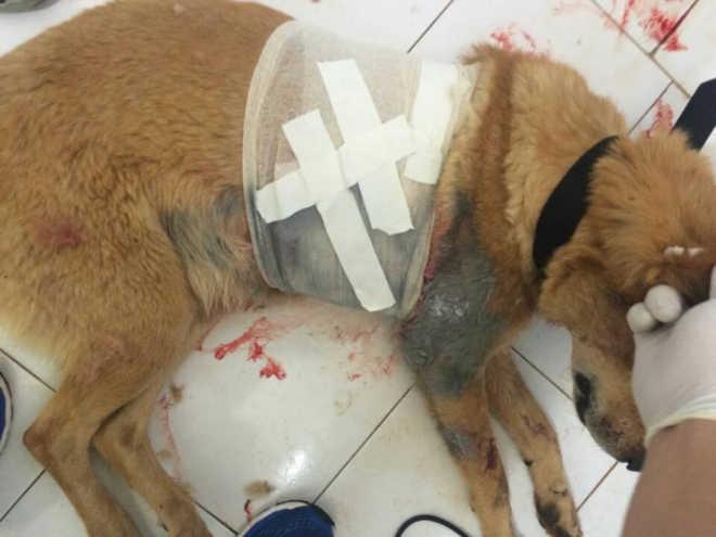 Cães são esfaqueados em Cerro Largo, RS