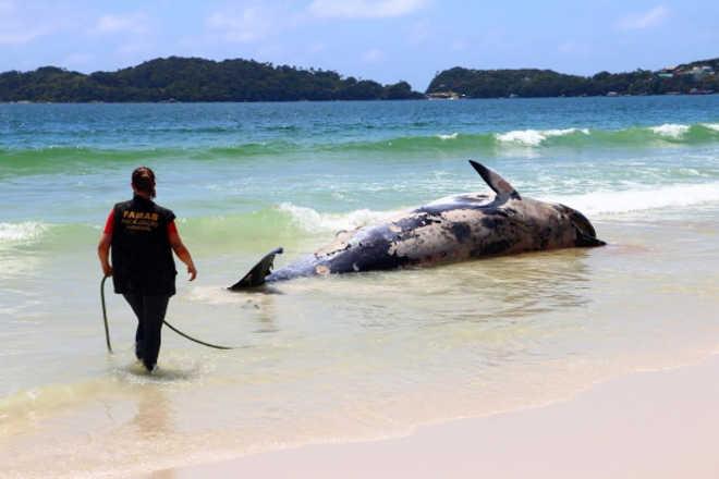 Fundação de Amparo ao Meio Ambiente realiza operação para resgate de baleia em Bombinhas, SC