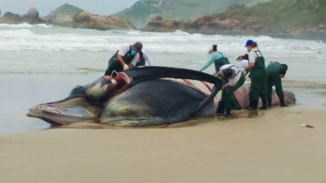 Baleia de Bryde encalhou na praia da Galheta em Florianópolis, SC