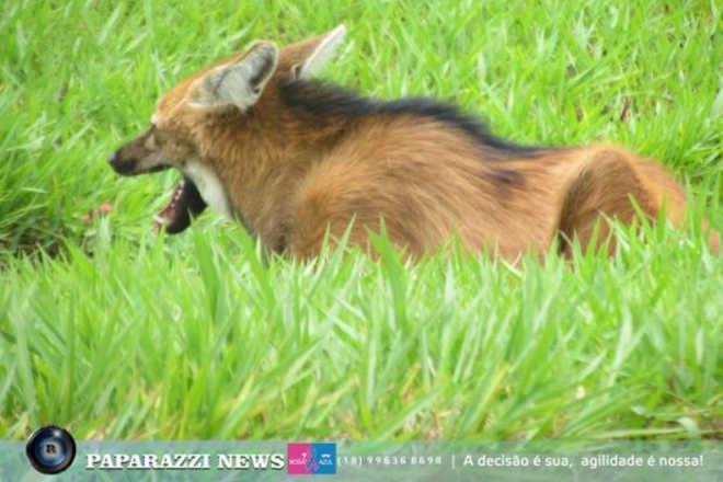 Lobo-guará é resgatado em rodovia após atropelamento em Castilho, SP