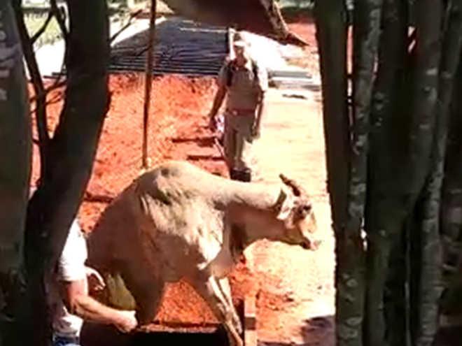Vaca é resgatada após cair em cova aberta de cemitério em Cerquilho, SP