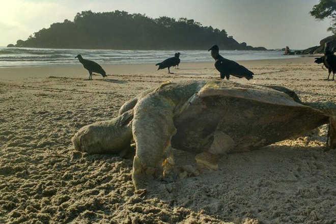 Tartaruga marinha é encontrada morta em praia de Guarujá, SP