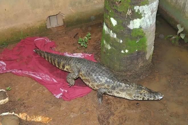 Jacaré-do-pantanal é resgatado em chácara de Hortolândia, SP