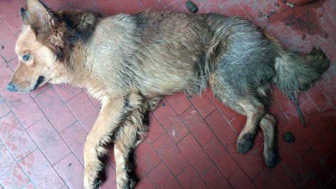 Cachorro é vítima de maus-tratos em Mogi Guaçu, SP
