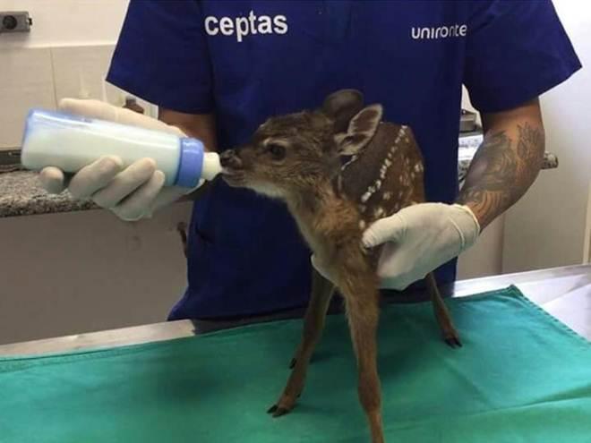 Filhote de veado-mateiro é resgatado com ferimentos em Registro, SP