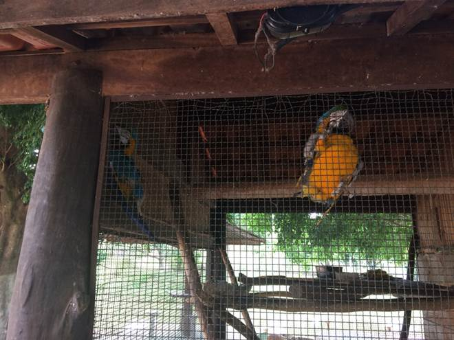 Polícia Ambiental flagra pesqueiro com araras-canindé ilegalmente confinadas em Vera Cruz, SP