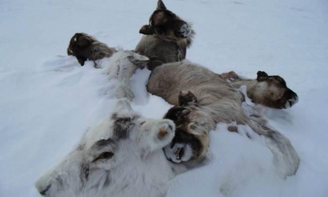 Alterações no clima provocam a morte de 80 mil renas no Ártico