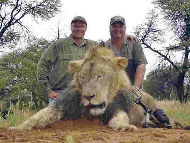 Zimbábue absolve caçador envolvido na morte do leão Cecil