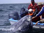 Os barcos reduzem sua velocidade na Califórnia para salvar baleias