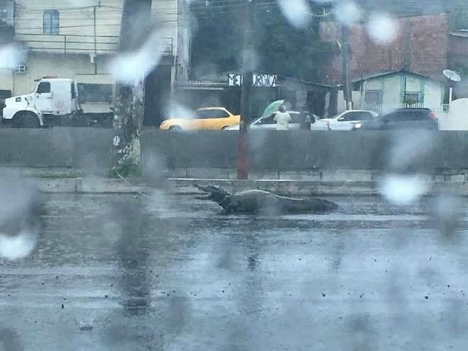 Jacarés aparecem em avenida de Manaus (AM) durante chuva