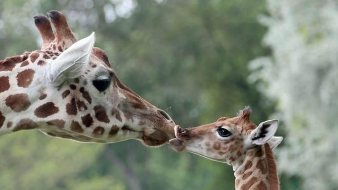 Girafas estão a desaparecer e vulneráveis a extinção, alerta organismo ambientalista