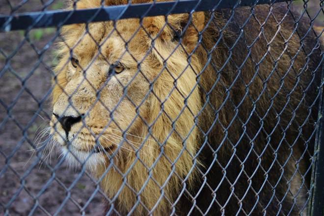 """Pessoas pagam para matar leões criados para o """"esporte"""""""