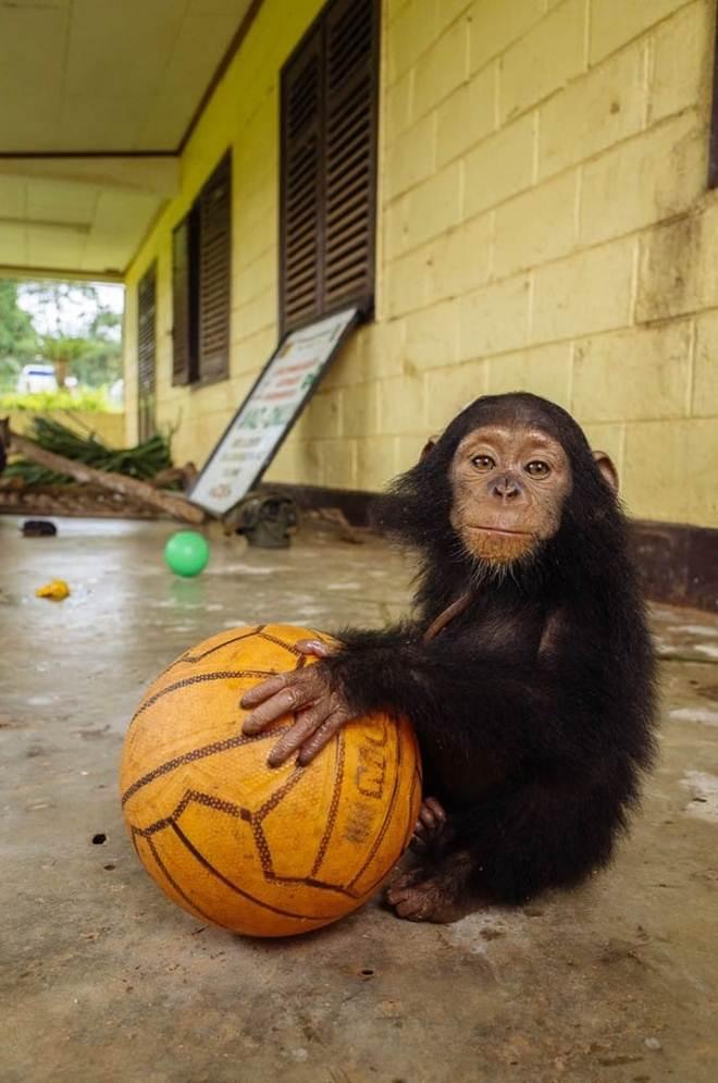Após ser retirada da família para tráfico de animais, chimpanzé é resgatada e adota bola de basquete como melhor amiga