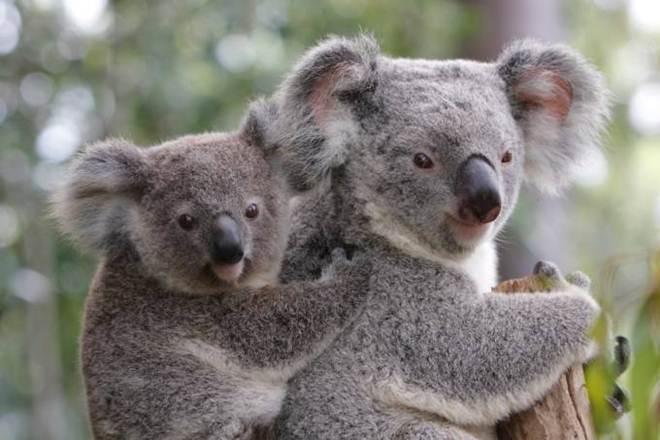 Coalas australianos estão sofrendo e morrendo de clamídia