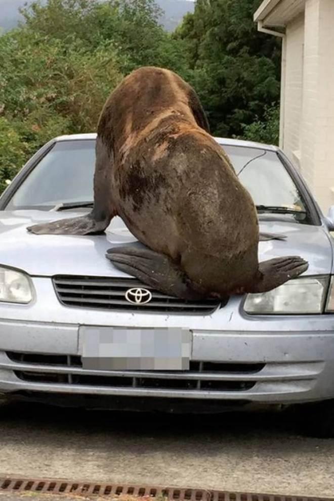 Foca de 200 kg será devolvida à natureza após invadir garagem e subir em carro, na Austrália