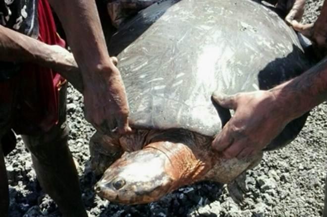 Tartaruga-da-amazônia é resgatada no interior do Ceará