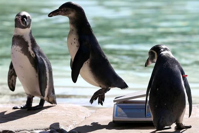 Sete pinguins morreram afogados num jardim zoológico no Canadá