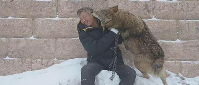 China: Homem gasta 138 mil euros por ano para criar 150 lobos