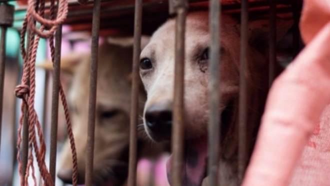 Começa a ser erradicado o consumo de carne de cachorro na Coreia do Sul