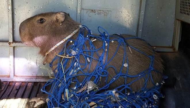 PM resgata capivara no Gama (DF) e devolve animal ao seu habitat