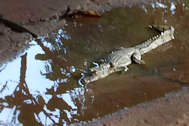 Três jacarés são encontrados em uma semana no Lago Sul, em Brasília, DF