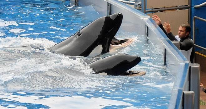O SeaWorld acaba de anunciar seu primeiro parque sem orcas, mas ainda possui 29 em cativeiro