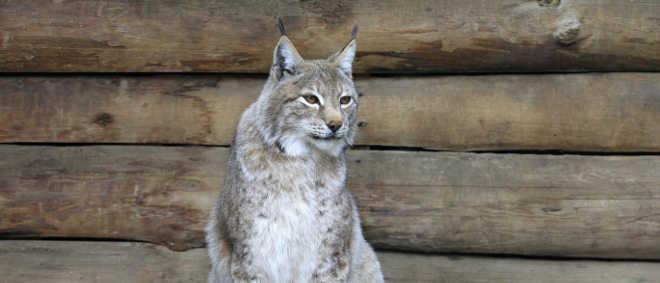 Dois linces siberianos desaparecem de zoo nos EUA