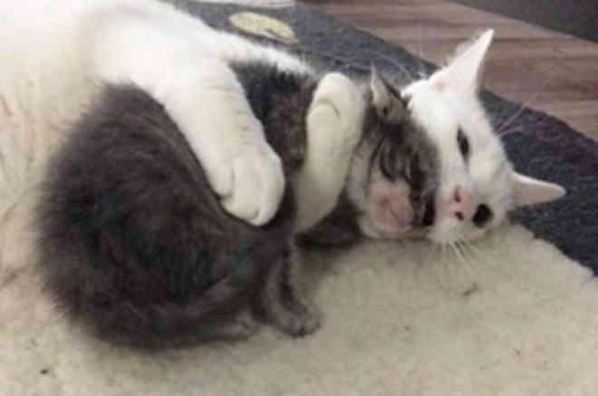 Gato abraça todos os filhotes órfãos que sua tutora leva para casa