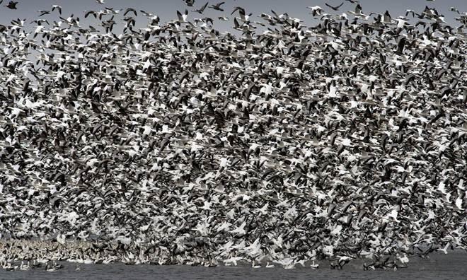 Milhares de aves morrem após aterrissarem em lago envenenado nos EUA