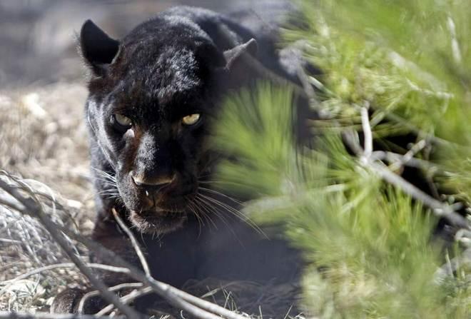 Tigres, leões e panteras se recuperam em Villena, Alicante após o maltrato circense