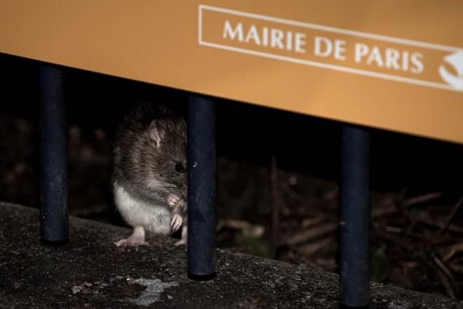 'Acabem com o genocídio de ratos em Paris': Ativistas pedem por contraceptivos e não um 'massacre'