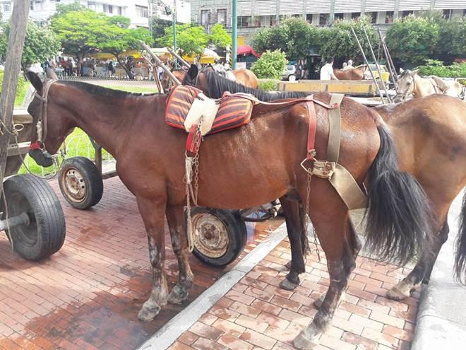 Preparam nova jornada de substituição de animais de tração em Neiva, na Colômbia