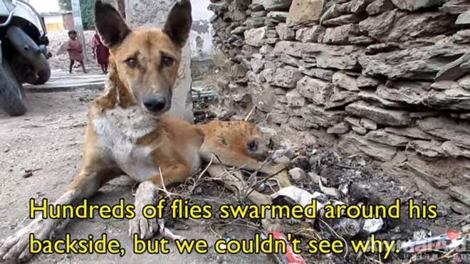 Ferido, cão de rua paralisado tem recuperação milagrosa graças à dedicada equipe de resgate