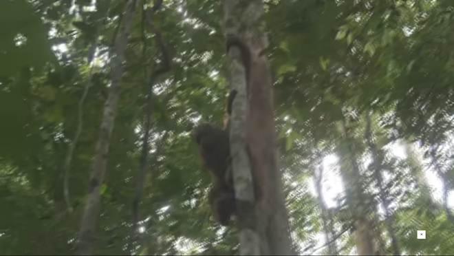 Orangotangos que ninguém achou que voltariam para a selva obtêm sua liberdade