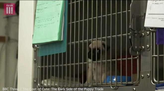 Documentário revela o horror por detrás dos cães pequenos para 'levar na carteira'