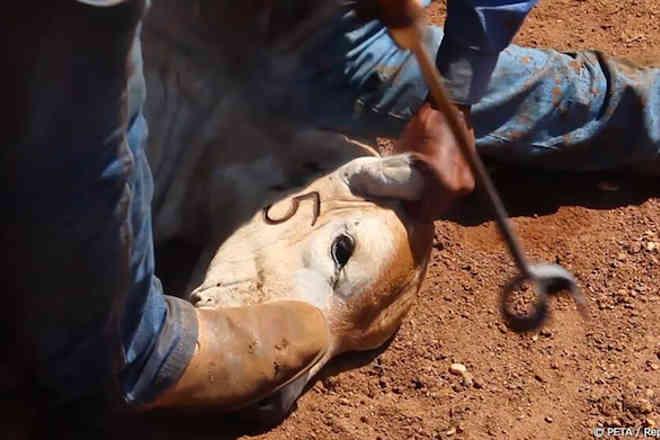 ONG denuncia massacre de bezerros para uso de pele em interiores de carros luxuosos