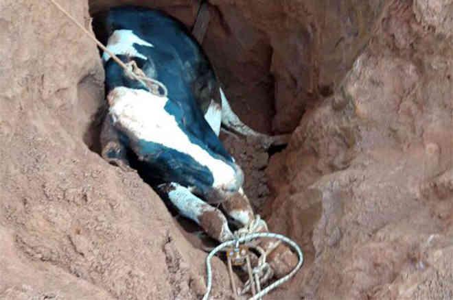 Vaca é resgata após cair em buraco próximo a BR-491, em MG