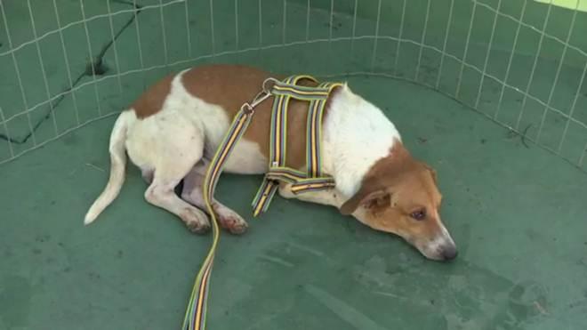 Cão que ficou de 'plantão' na UPA à espera do tutor procura um novo lar em Cuiabá, MT