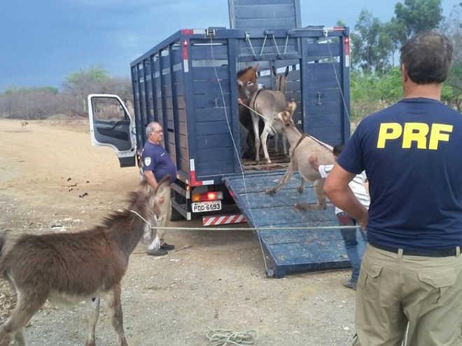 Operação da PRF recolhe animais em rodovias do Sertão de Pernambuco