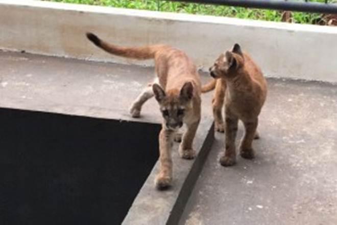 IAP entrega filhotes de onça resgatados a zoológico do Paraná